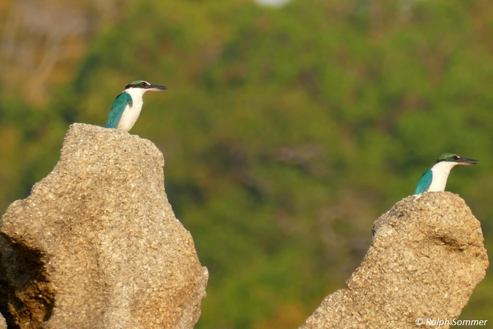 collared kingfisher Boulder Bay Resort Mergui Archipel
